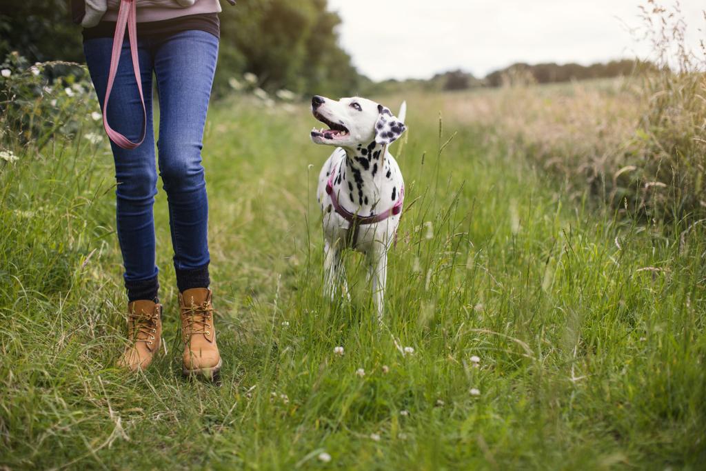 Benefits of walking Dalmation dog